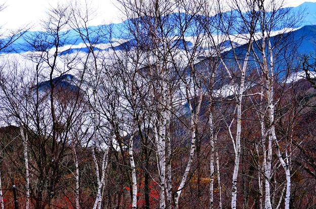 06 白樺林を透かして見える雲海