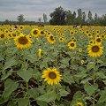 Photos: 【タイ】ひまわり列車|Sunflower Train 2008 [09]|ひまわり畑