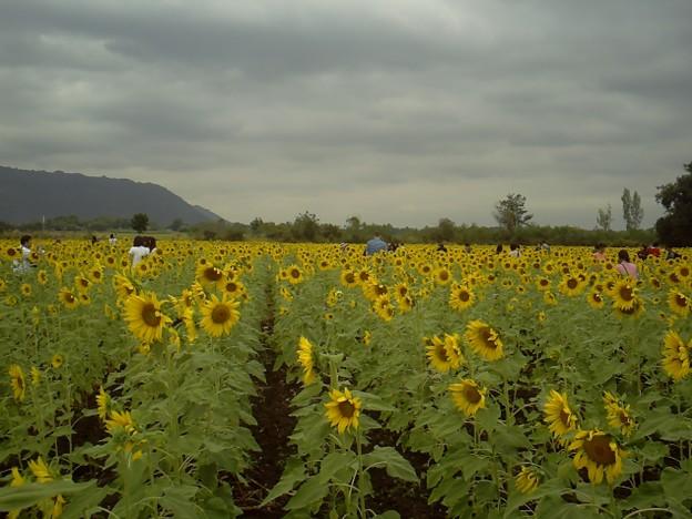 Photos: 【タイ】ひまわり列車 Sunflower Train 2008 [08] ヒマワリ畑