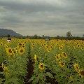 Photos: 【タイ】ひまわり列車|Sunflower Train 2008 [08]|ヒマワリ畑