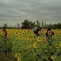 Photos: 【タイ】ひまわり列車|Sunflower Train 2008 [06]|ひまわり畑