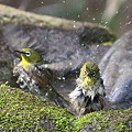 Photos: 110411-8メジロの水浴び