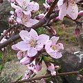 写真: 庭の桜が今年も咲いてくれました。桜も頑張って咲いてるから、私も?と...