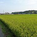 Photos: 稲穂
