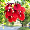 Photos: アメリカデイゴの赤い花