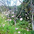 写真: 山桜と秋桜、里の秋