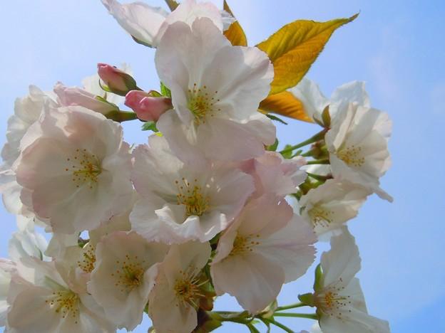 千光寺山の大輪桜