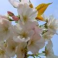 写真: 千光寺山の大輪桜