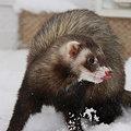 Photos: 雪の中 遊ぶフェレット