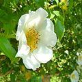 写真: ~Rosa multiflora~