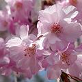 舞鶴公園の桜(2)ぼたん・しゃくやく園