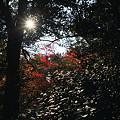 写真: モミジと太陽