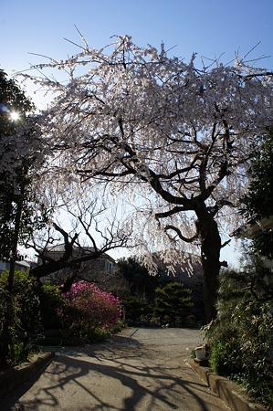 満開の桜を潜り抜けて