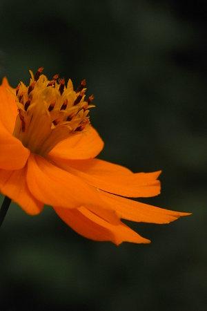 黄花コスモス