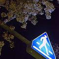 Photos: 日常桜3_夜桜を歩く人