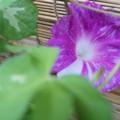 Photos: 紫咲いた♪