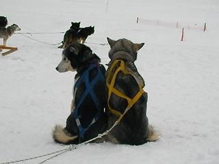 犬ぞりに乗ってみない?2