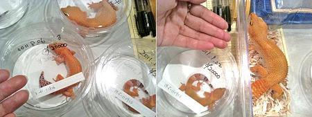 綺麗なオレンジ系レオパ☆