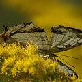 写真: 白い翅の妖精