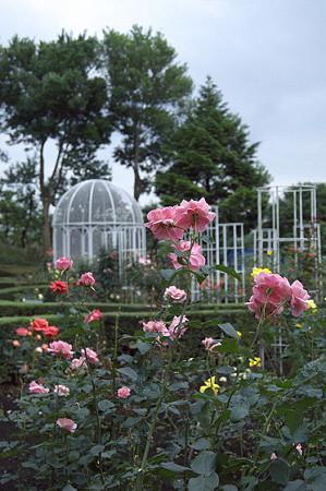 こども植物園のバラ 02