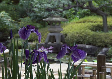 長谷寺の花菖蒲 01