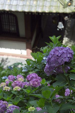 長谷寺の紫陽花 01