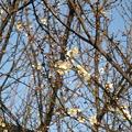 Photos: 白梅が咲き始めたなう