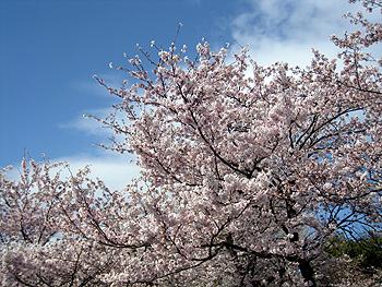 海老名の桜09ー4