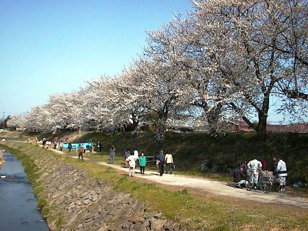 海老名の桜