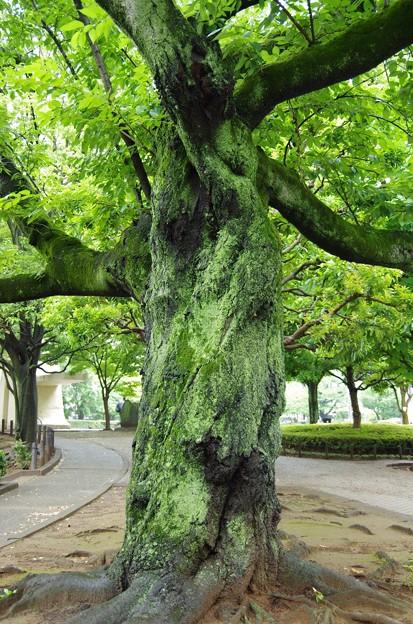 苔びっしりの大木